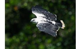 Pseudastur albicollis