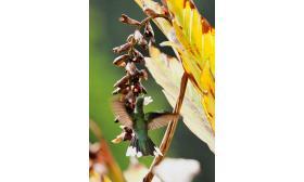 Campylopterus largipennis