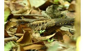 Nyctidromus albicollis