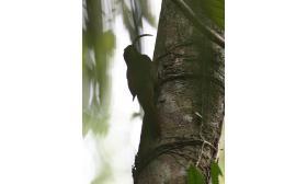 Campylorhamphus procurvoides