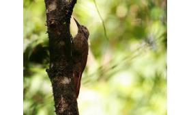 Dendrocolaptes picumnus