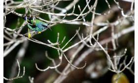Cyanerpes caeruleus