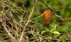 Veniliornis cassini