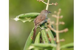 Synallaxis albescens