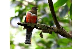 Trogon collaris